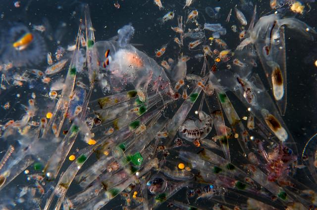 綠色和平在地中海中部海域收集到的浮游生物樣本。圖片來源:台灣綠色和平組織
