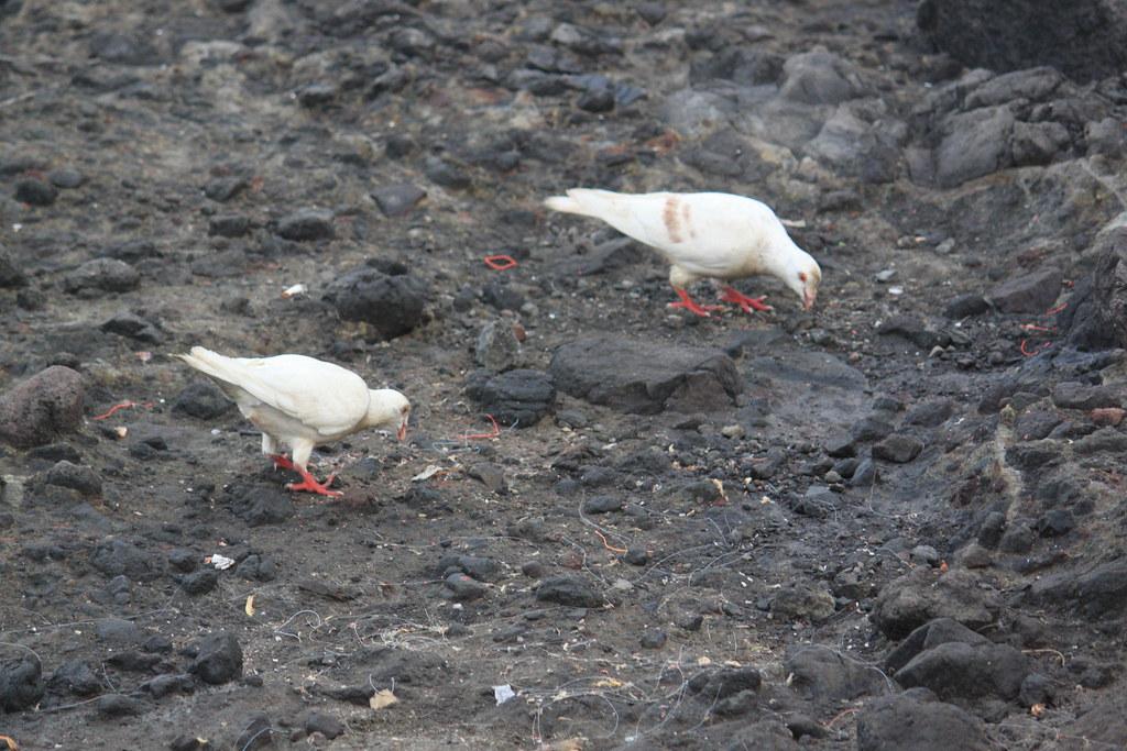 鴿子們來到海邊休息,可能是被平台上的食物殘渣吸引,但這裡也有很多不能吃的塑膠垃圾被丟在地上,橡皮筋、魚線、魚鉤,鴿子們在這裡討生活看起來很淒涼...