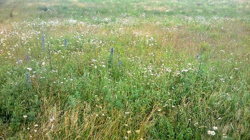 Danish wildflower meadow