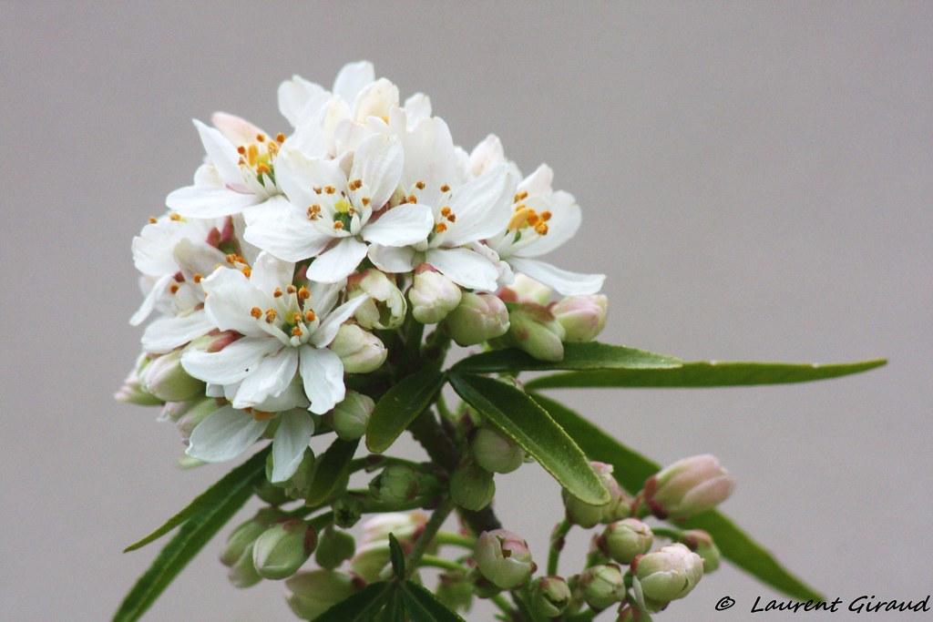 Photo d 39 un bouquet de fleurs d 39 oranger du mexique flickr for Bouquet de fleurs wiki