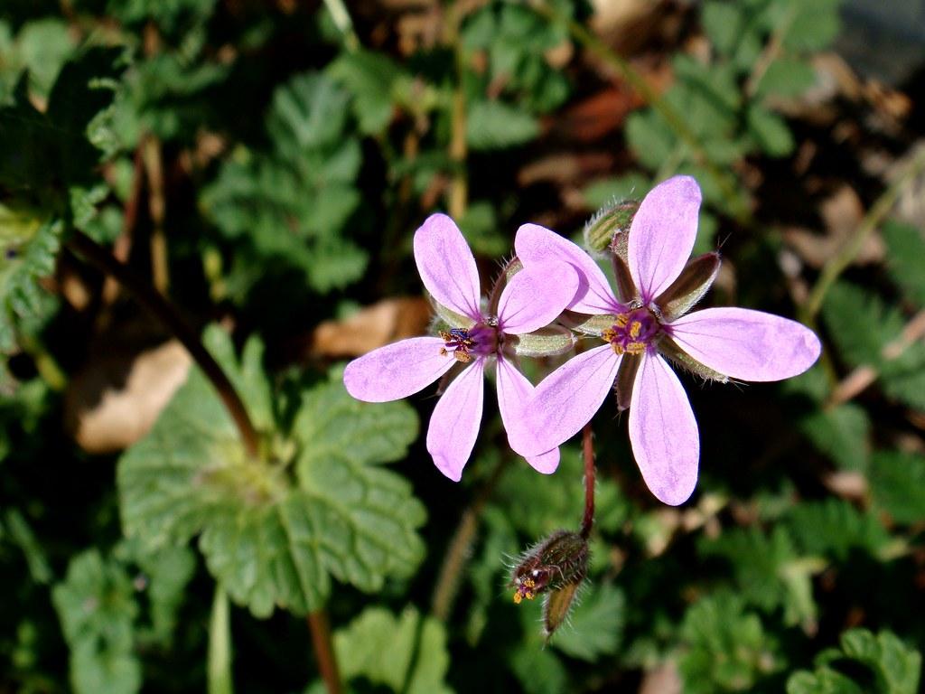 Early spring flowers Erodium cicutarium Geraniaceae CameliaTWU