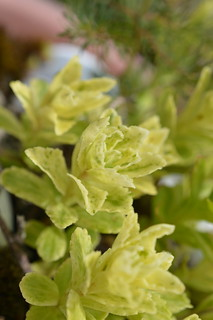 DSC_3229 Sedum aizoon var. floribundum f. variegata 散り斑麒麟草