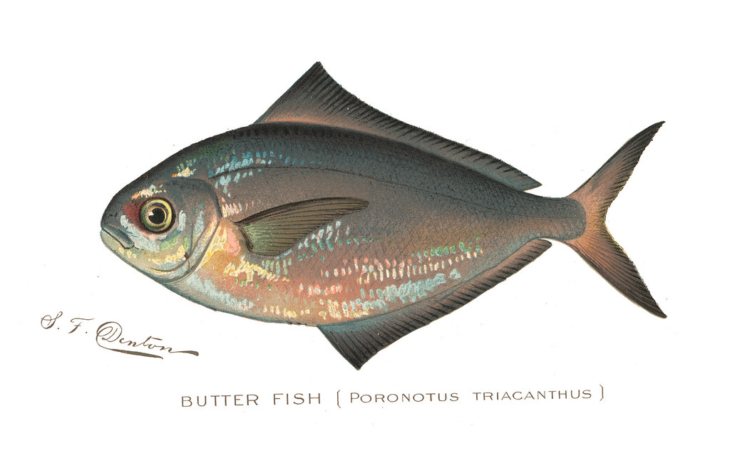 Butterfish butter fish nys dec flickr for Nys dec fishing