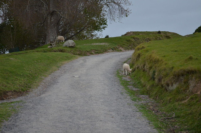 sheep on the path - Mount Maunganui