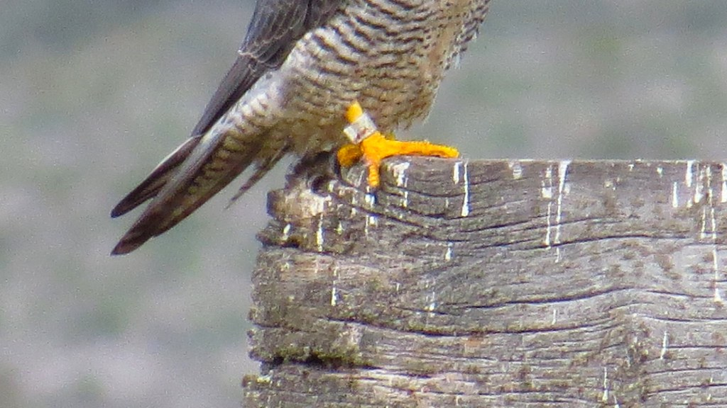 Peregrine Falcon Talons Peregrine Falcon Talons And Tag