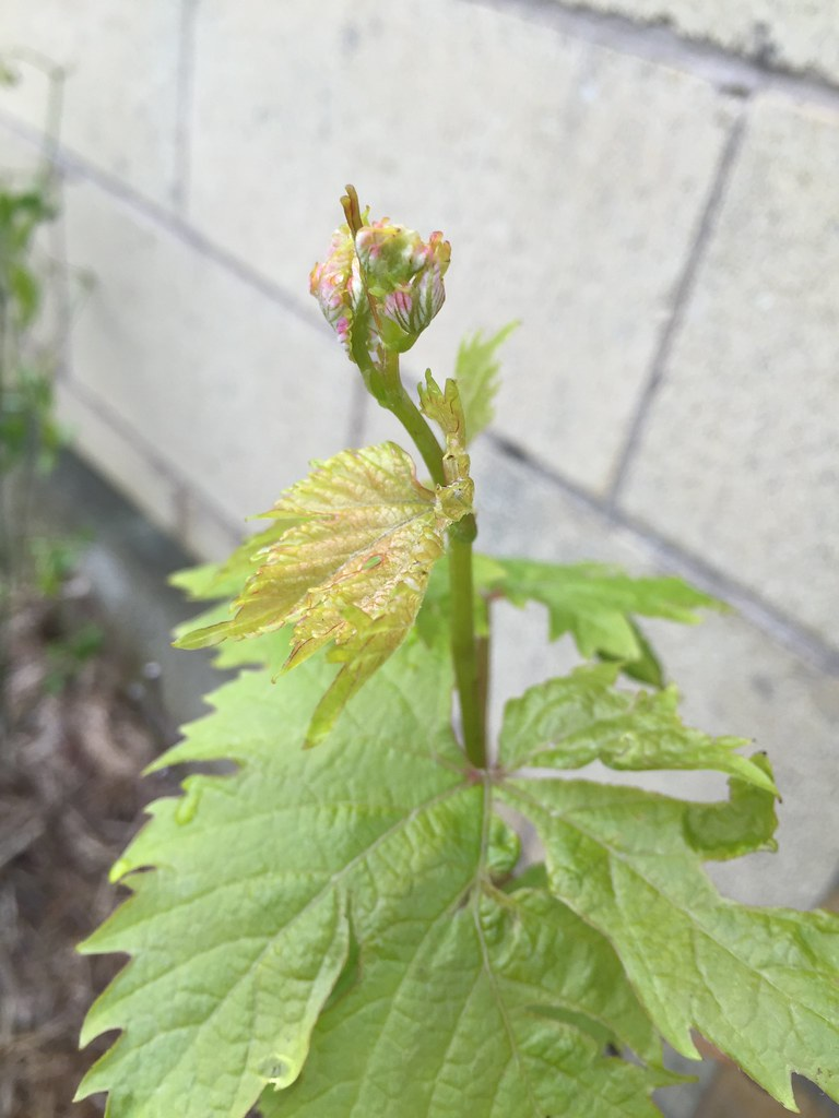 new growth on the grape vine, ready to unfurl new leaves