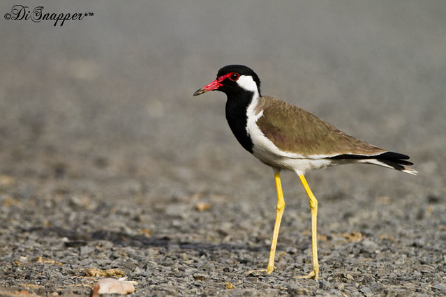 Rew Watted Lapwing