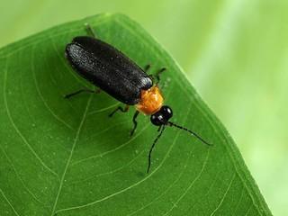 春天常見的黑翅螢。圖片來源:特生中心