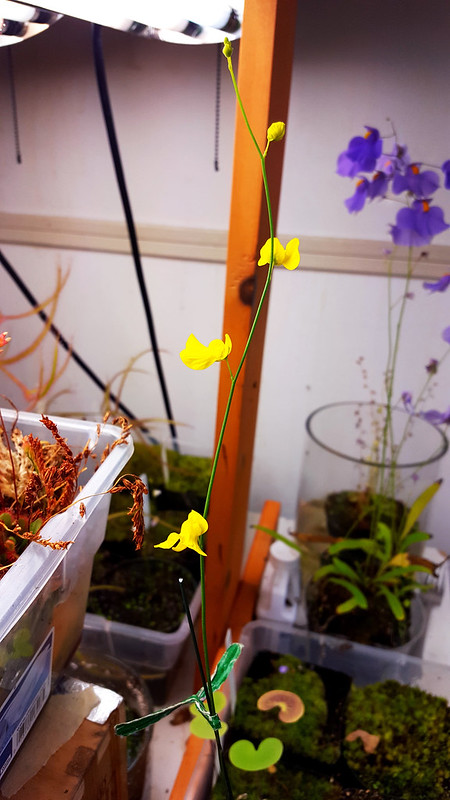 Utricularia praelonga flowers in bloom.