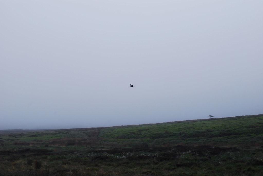 civet bird in the wild moors