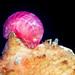Acanthonotozoma inflatum