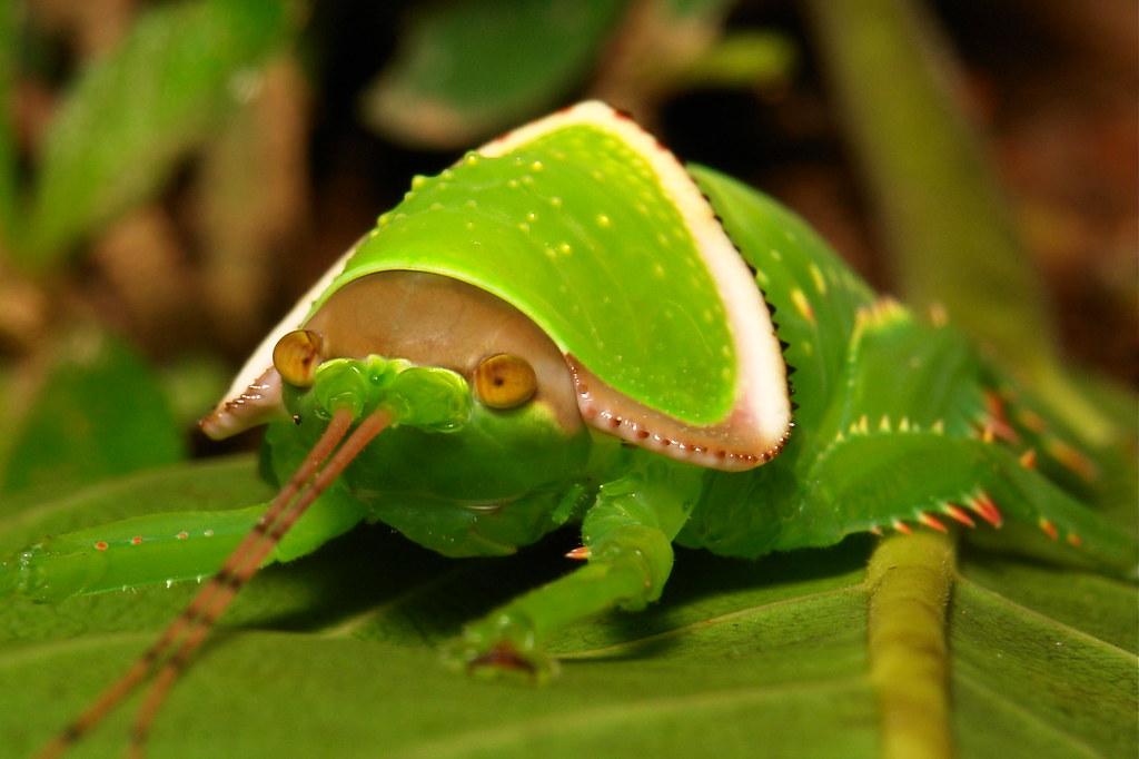 Giant False Leaf Katydid Nymph (Pseudophyllus titan, Pseud ...