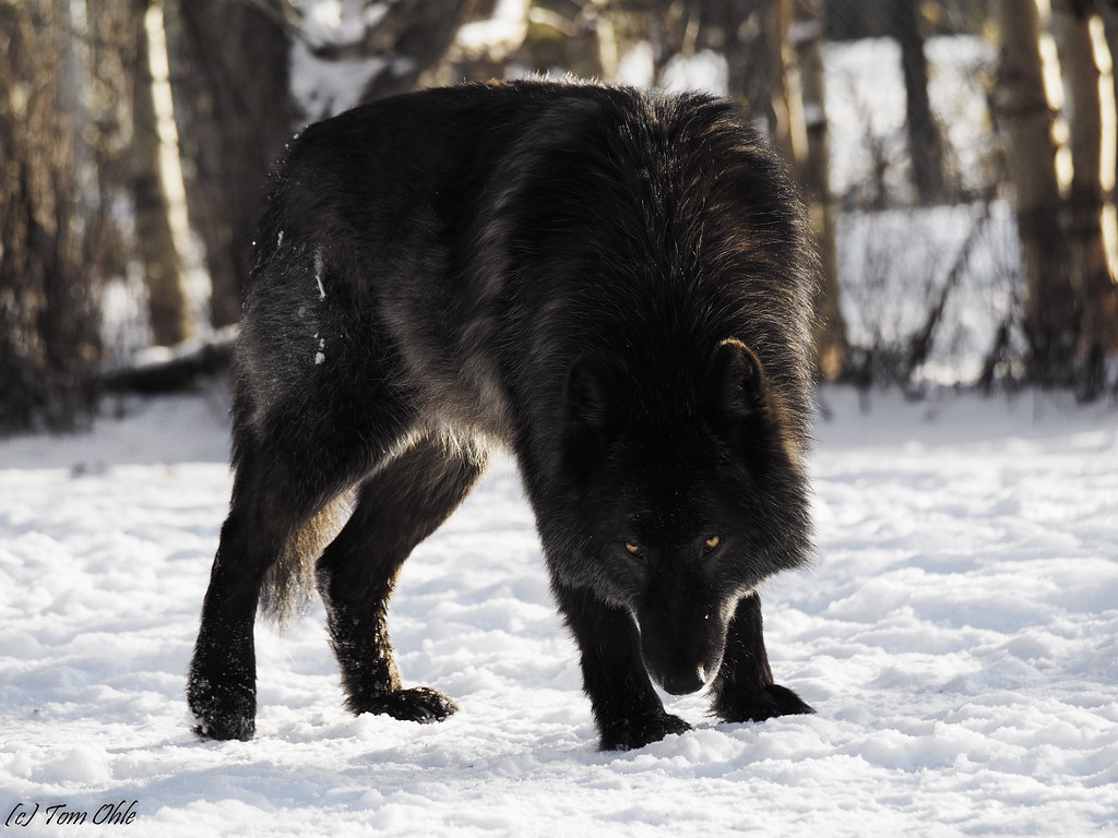 Stare down from black wolf dog | Another one of Zeuss ...