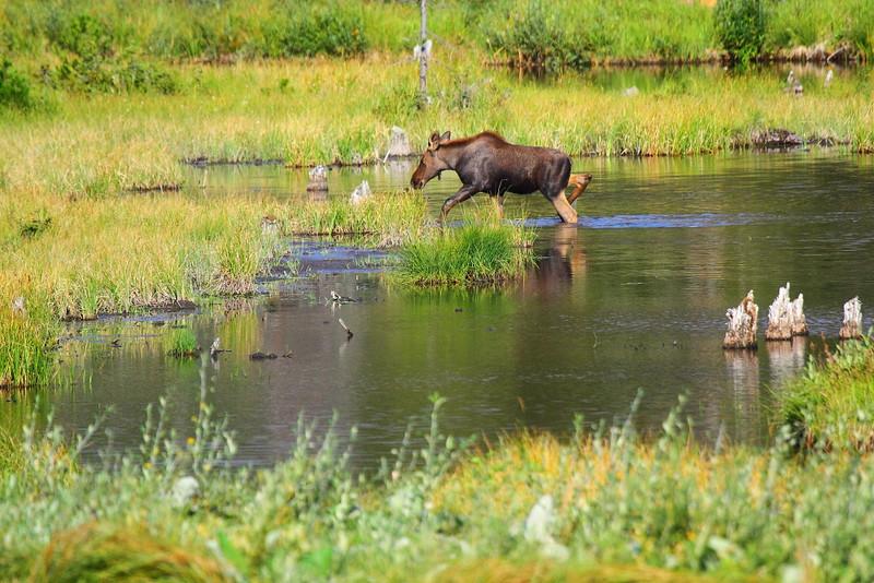 IMG_1988 Moose on Cobalt Lake Trail