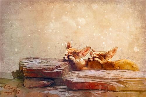 Image of sleeping Fennoc Foxes