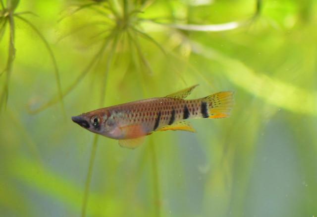 Хаплохилус шапери, или эпиплатис Шапера (Epiplatys chaperi), фото фотография рыбы
