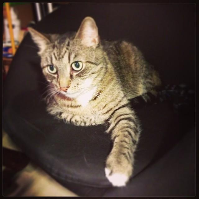 #Pessi valtas mun kehruutuolin... #cat