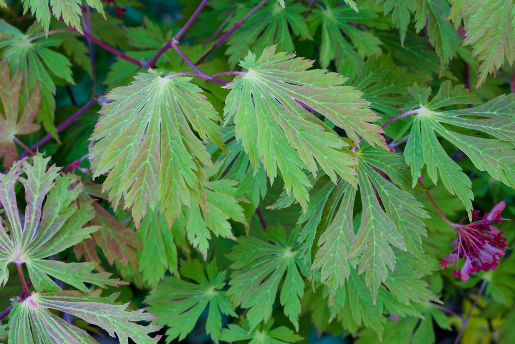spring leaves and fruits acer japonicum aconitifolium 39 the. Black Bedroom Furniture Sets. Home Design Ideas