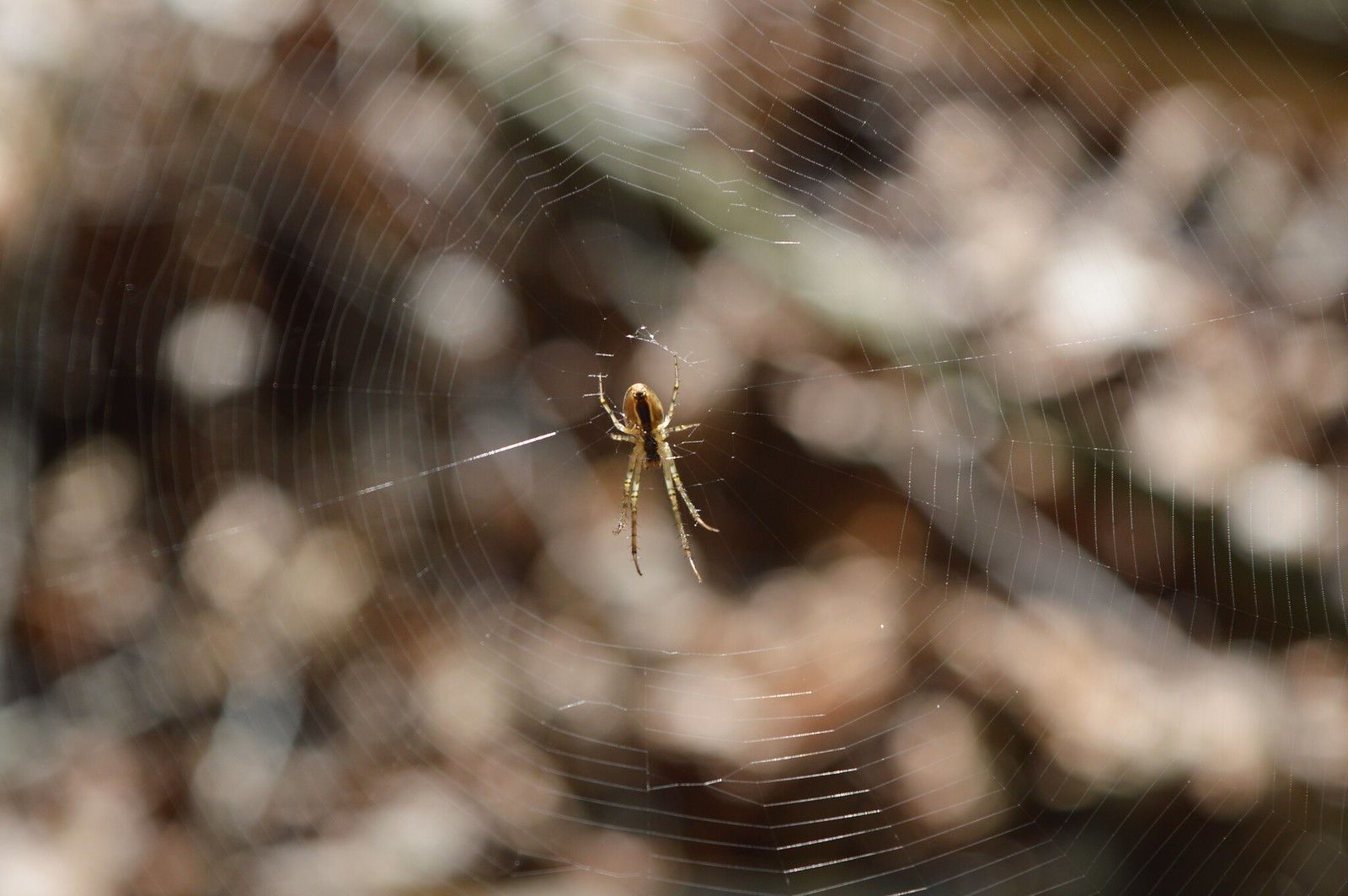 Spider in its web in a Dutch forest.