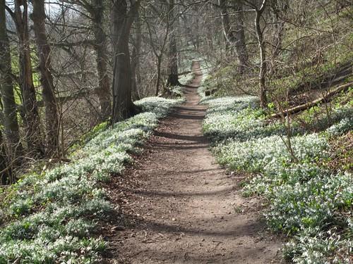 Snowdrop path 1