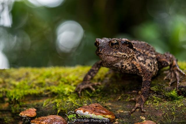 Вьетнамская горная жаба (Ingerophrynus galeatus), фото фотография амфибии