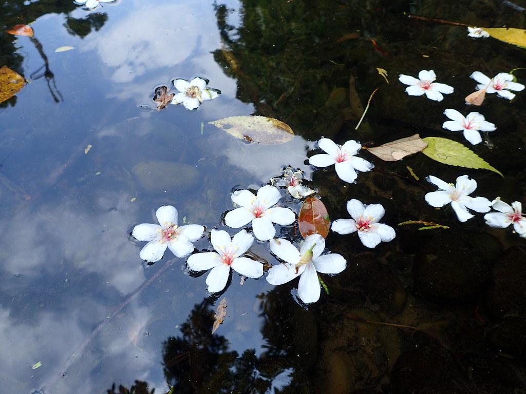 油桐花因其觀賞價值受到民眾與官方的寵愛。圖片來源:自然谷提供。