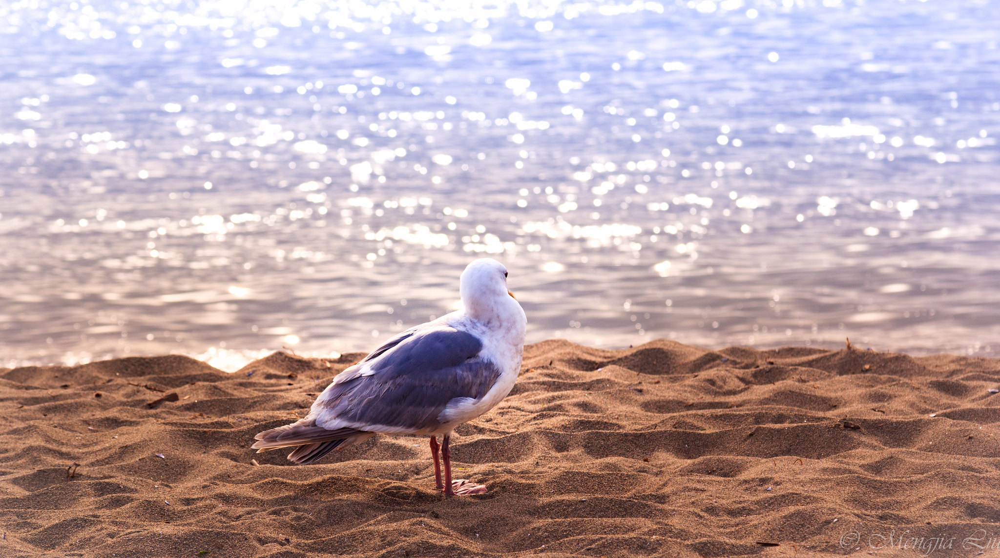 Seagull Dreams