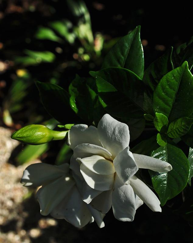 Gardenia jasminoides 'August Beauty' (2)