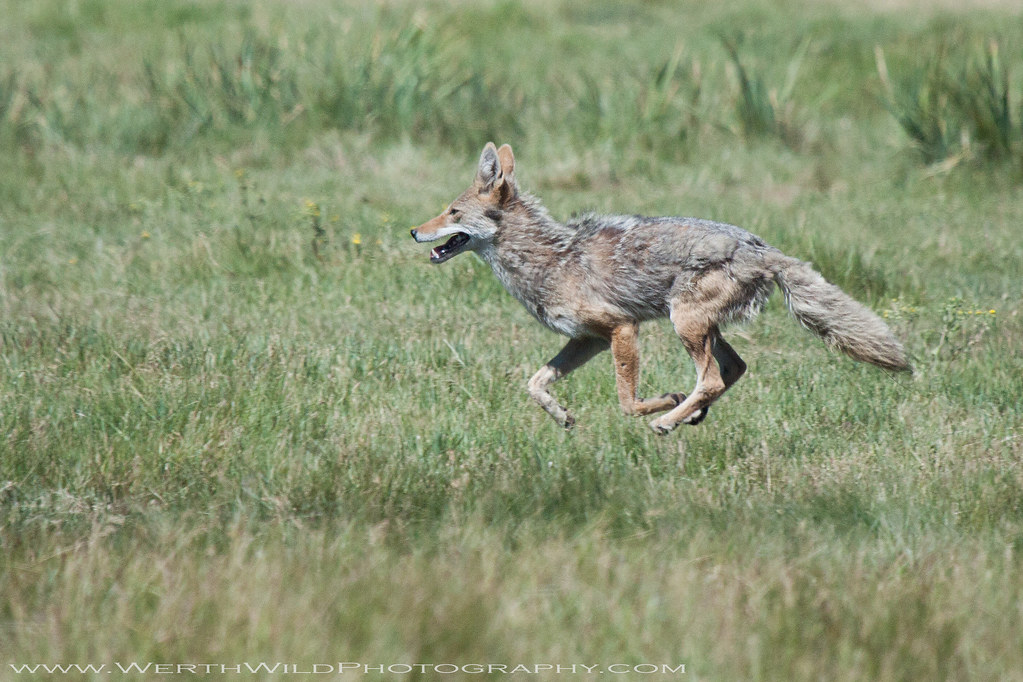 Coyote Running | I had really good luck with coyotes at ...  Coyote Running ...