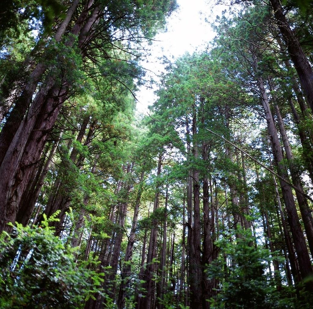 Redwoods Trees Of Mystery California Jenny Cestnik