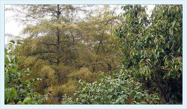 Paris jardin catherine laboure alnus glutinosa 39 imperial flickr ph - Jardin catherine laboure ...