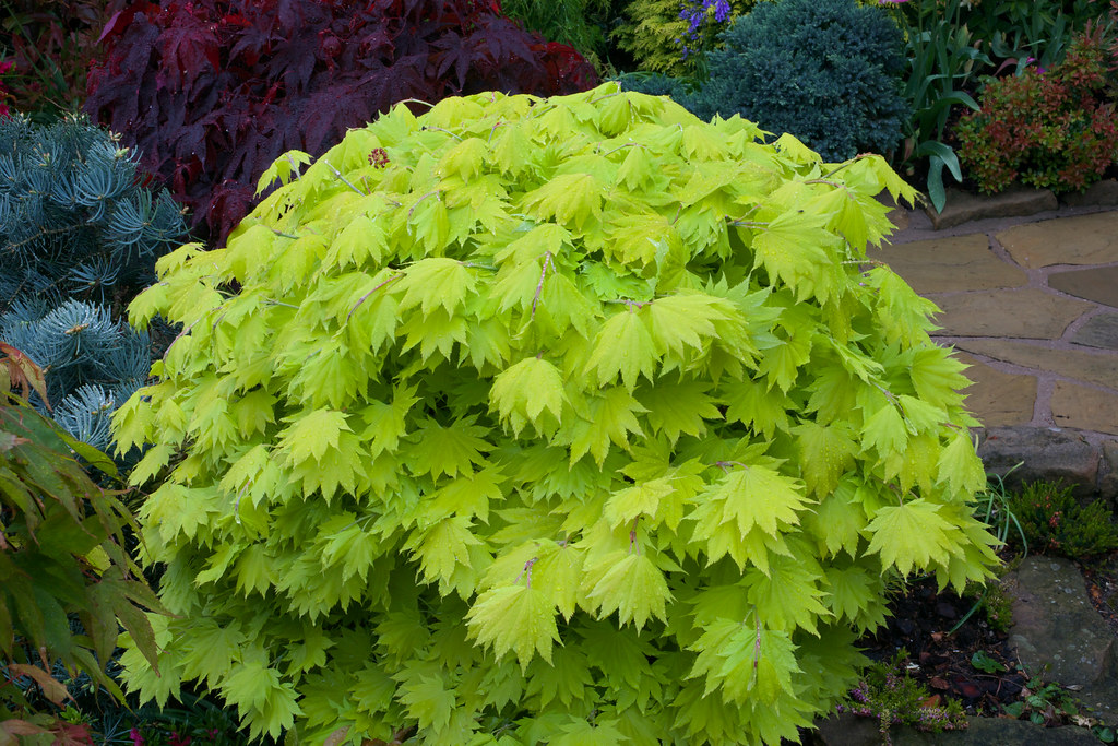 new leaves acer shirasawanum 39 aureum 39 golden leaf full m flickr. Black Bedroom Furniture Sets. Home Design Ideas