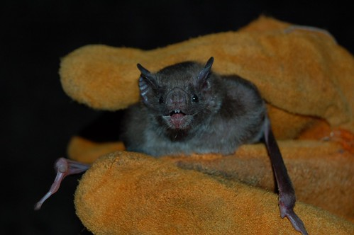 A vampire bat in Mexico