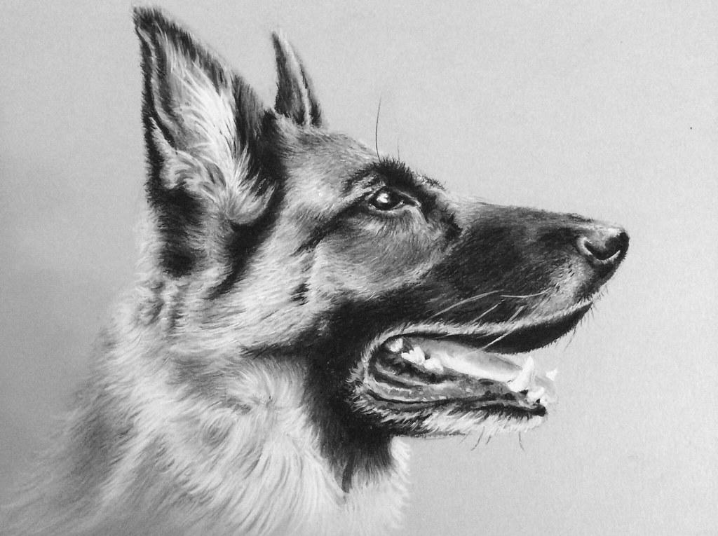 Charcoal Drawing German Shepherd Luda stockdeviantart