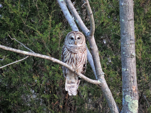 Barred Owl on the side of the road