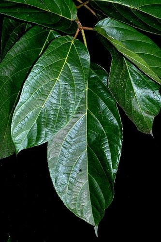 Ficus hispida DSC_0195
