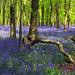 Bluebells in Crawley Wood, Ashridge Forest, UK   The Flowering English Countryside (1 of 30)