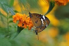 Plain Tiger 金斑蝶 Danaus chrysippus