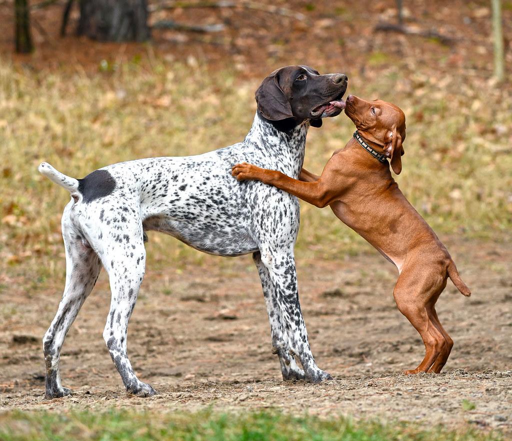 Vizsla puppy love | Ja...