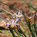 Western Blue Flag Iris with Bee TWBF DSC_9754