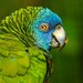 Saint Lucia Parrot(Amazona versicolor)_1