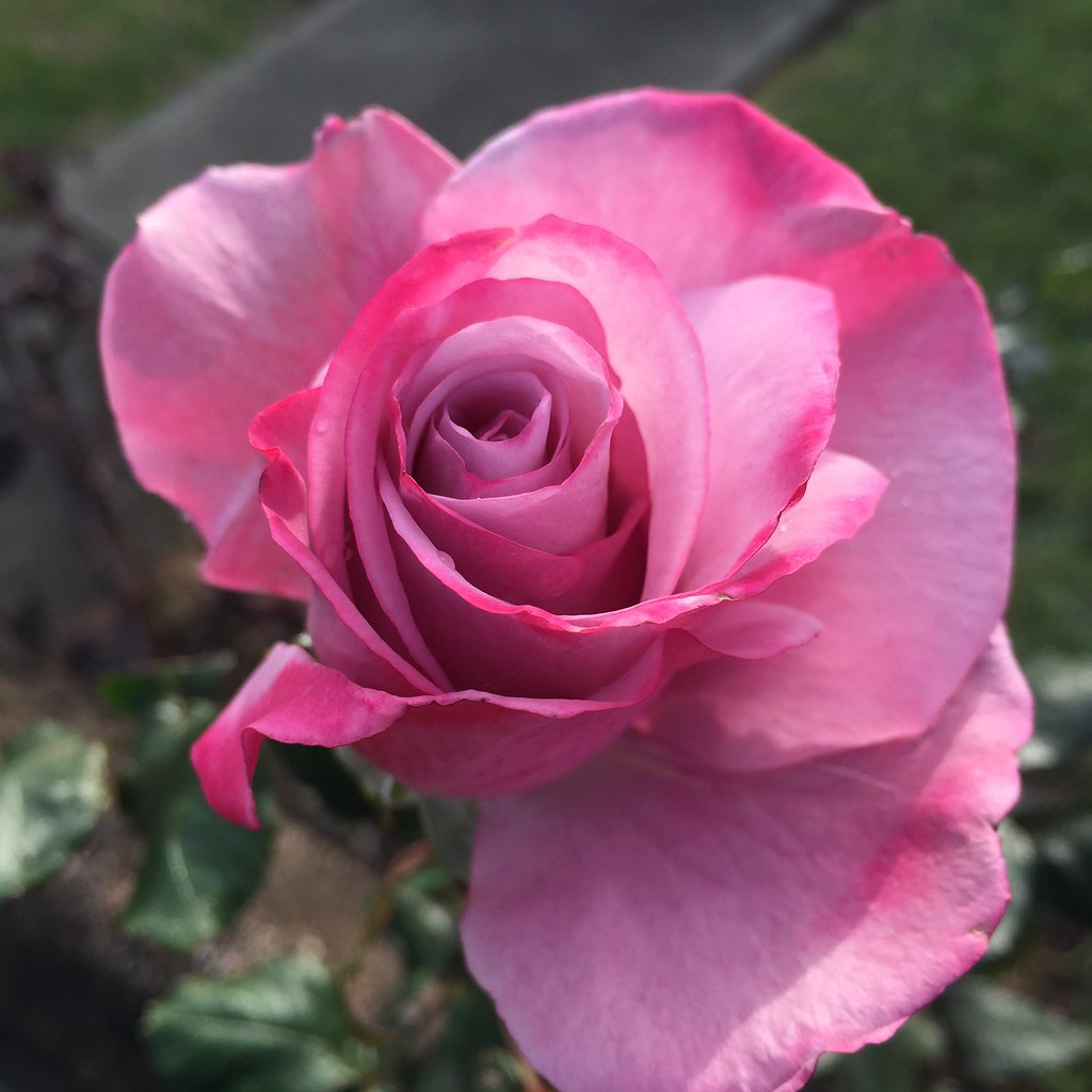 a beautiful pink rose snapped on a walk in the last days of june