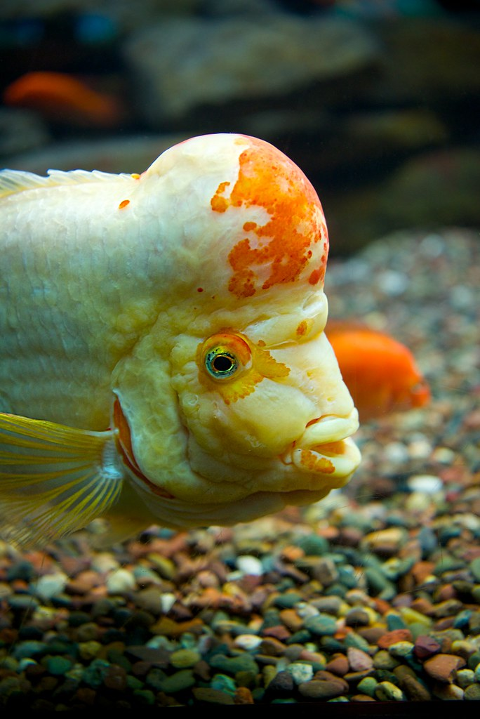 Bulbous Headed Fish I Still Don T Know The Species Of