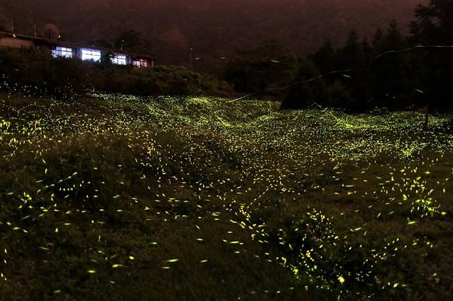 烏石坑地區在螢火蟲季可見到滿山滿谷的螢光盛況。圖片來源:特生中心