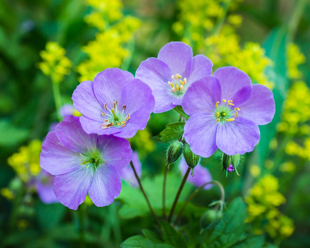 Wildflower, Wildflowers, Wild Geranium, Purple, Flowers