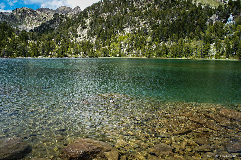 Ánades reales en el lago de Ratera