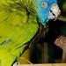 Saint Lucia Parrot(Amazona versicolor)_4