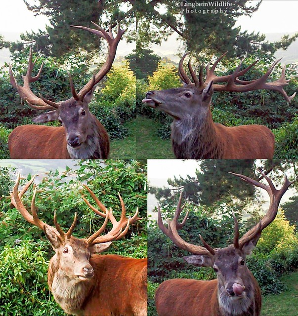 Red Stag at Selfie Cam