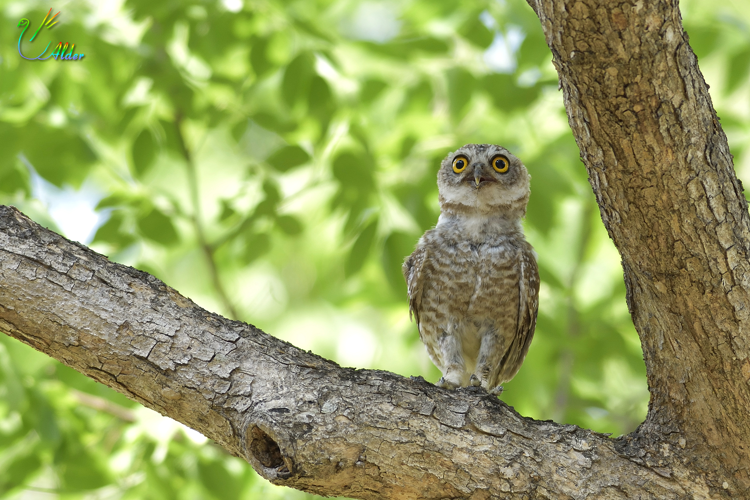 Spotted_Owlet_6157