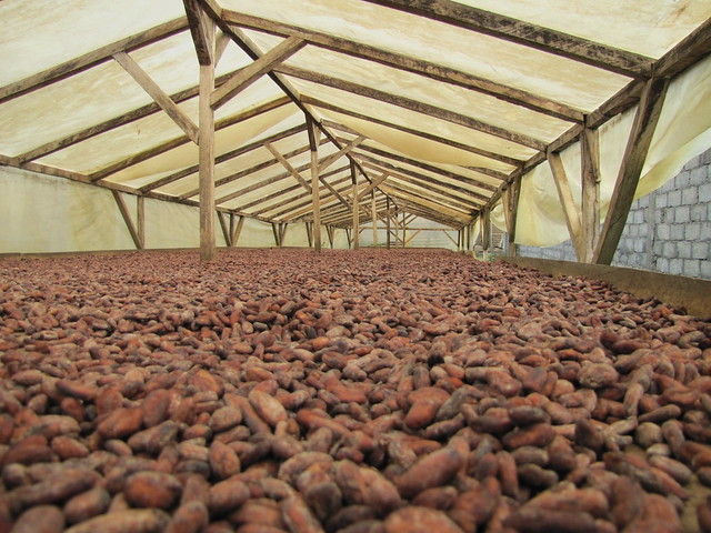 cocoa beans under tarp